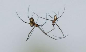 Павуки виду leucauge mariana активно цілуються під час спарювання