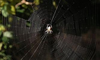 Павутина павука-кругопряда надихнула на створення біосумісною нитки