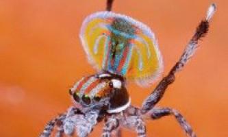 Павича павук (maratus volans)