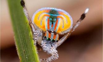 Павича павук - істота в райдужному «вбранні»
