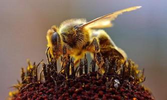 Бджолина матка робить щеплення всім своїм нащадкам
