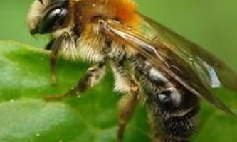 Бджолина отрута лікує артрит