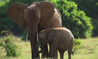 Перед вагітністю слонихи запасаються жіночими гормонами