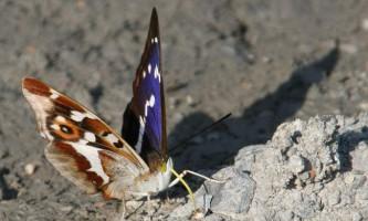 Мінливець великий: опис і фото рідкісної метелики