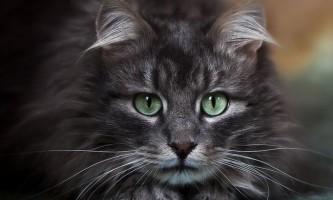 Лупа у кішок: причини і лікування
