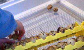 Періоди і температурні режими інкубації перепелиних яєць в домашніх умовах в інкубаторі