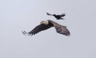 Пернатий джигіт: ворона осідлала летить білоголового орлана