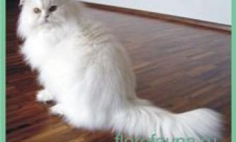 Персідскаякошка
