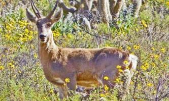 Перуанський олень - копитне, спустилося з кам`янистих гірських схилів