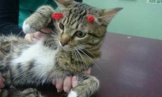 Первоуральский кіт, який отримав в голову два постріли з арбалета, вижив