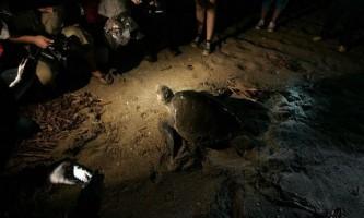 Перші моменти життя дитинчат оливковою черепахи рідлі