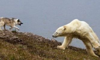 Пес боцман, який прославився своєю дружелюбністю, поранений білої ведмедицею