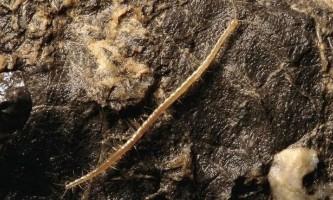 У хорватії знайшли багатоніжку, названу на честь бога підземного царства