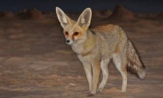 Піщана лисиця рюппеля - тварина, пристосоване до життя в пустелі