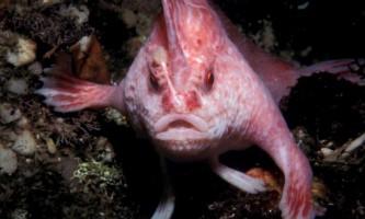 Печерний ангел (лат. Cryptotora thamicola) - риба, яка вміє ходити