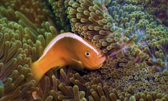 Пестроносий амфиприонов: фото, опис рибки