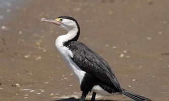 Строкатий баклан: опис, місця проживання і спосіб життя птиці