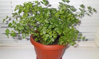 Петрушка на підвіконні: особливості вирощування