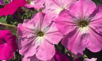 Петунія: фото квітів.