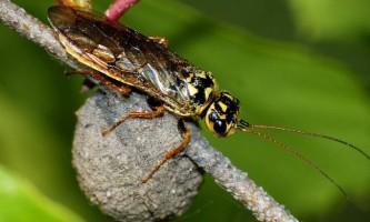 Пильщик-ткач. Долучені ці комахи до ремесла?