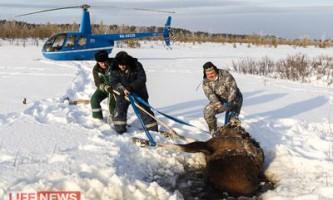 Пілоти вертольота врятували лосицю що провалилася під лід