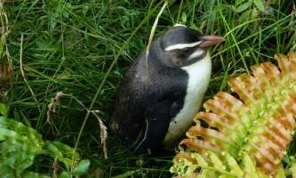Пінгвін толстоклювая: не плутати зі снарської!