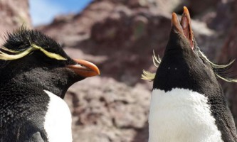 Пінгвіни і пінгвінята