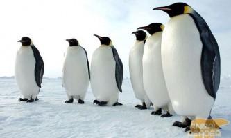 Пінгвіни - королі південного полюса