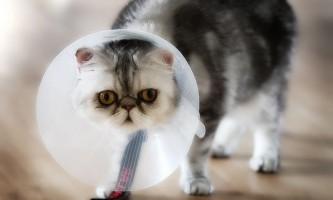 Піометра у кішок: симптоми і лікування