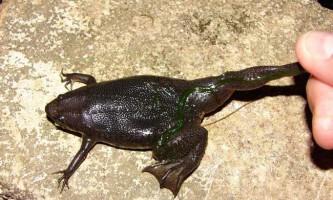 Піпа корвальо - підсліпувата жаба