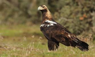 Піренейський орел