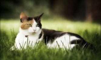 Піроплазмоз у кішок