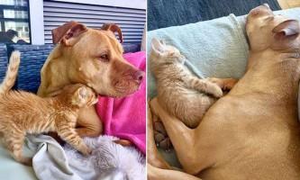 Пітбулю подарували кошеня, і він став йому другим батьком