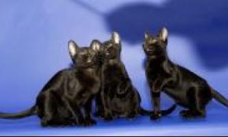 Розплідники бомбейських кішок