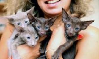 Розплідники орієнтальних кішок
