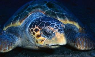 П`ять популяцій морських черепах знаходяться під загрозою зникнення