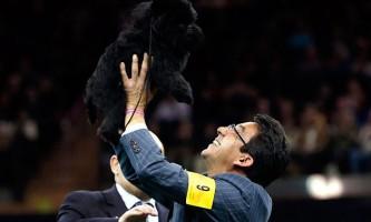 П`ятирічний пес породи аффенпінчер банана джо v став переможцем престижного дог-шоу