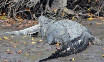 П`ятиметровий крокодил-канібал закусив своїм триметровим родичем