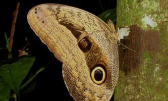 Плями на крилах метеликів імітують очі хижих птахів