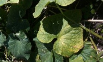 Плями на листках огірків