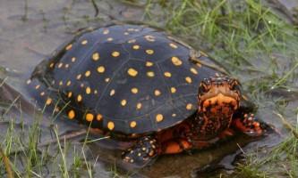 Плямиста черепаха - улюблениця серед черепаховодов