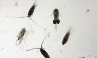 Планктонні рачки використовують `` винахід `` кашалотів для глибоководного пірнання