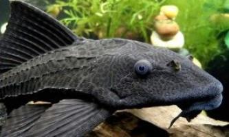 Плекостомус - акваріумний сомик