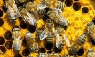 Племінна робота у бджільництві