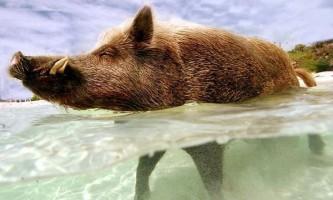 Пляжне життя свині babe, яка живе на своєму приватному острові на багамах
