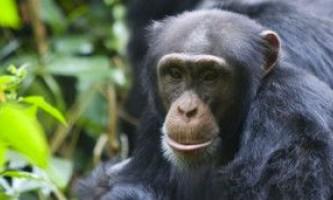 Плюються шимпанзе показали надзвичайний інтелект