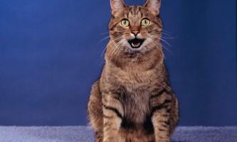 Плюються кіт з бірмінгема