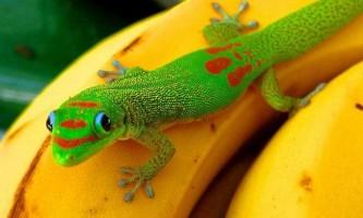 Плоскохвостах мадагаскарський гекон - райдужна ящірка