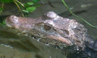 Вулицями рязані бродить покусаний крокодил