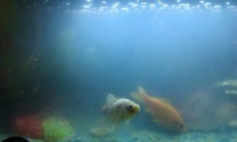 Чому швидко мутніє вода у рибок?